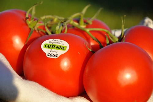 Aujourd'hui, les Serres de Guyenne constituent l'une des cinq plus grandes superficies serricoles du Québec. L'entreprise, qui emploie maintenant plus de cent personnes sur une base régulière, a diversifié sa production et cultive désormais des fleurs et des tomates vendues dans toute la province. Photo: N.Falcimaigne